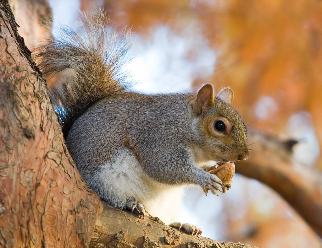 Eastern-Grey-Squirrel-in-St-Jamess-Park-London-Nov-2006-edit.jpg